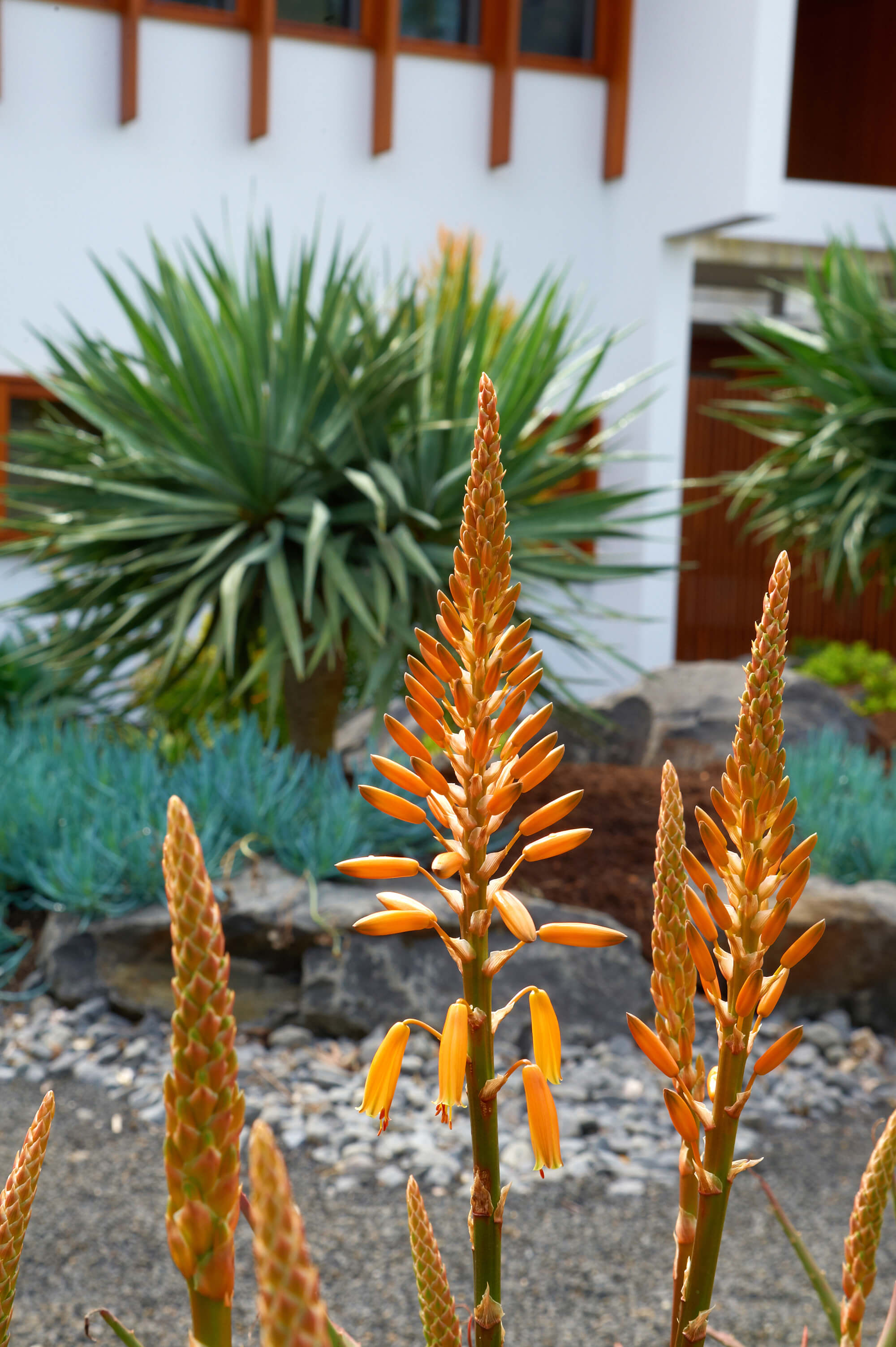 brookfield contemporary arid landscaping front garden aloe planting