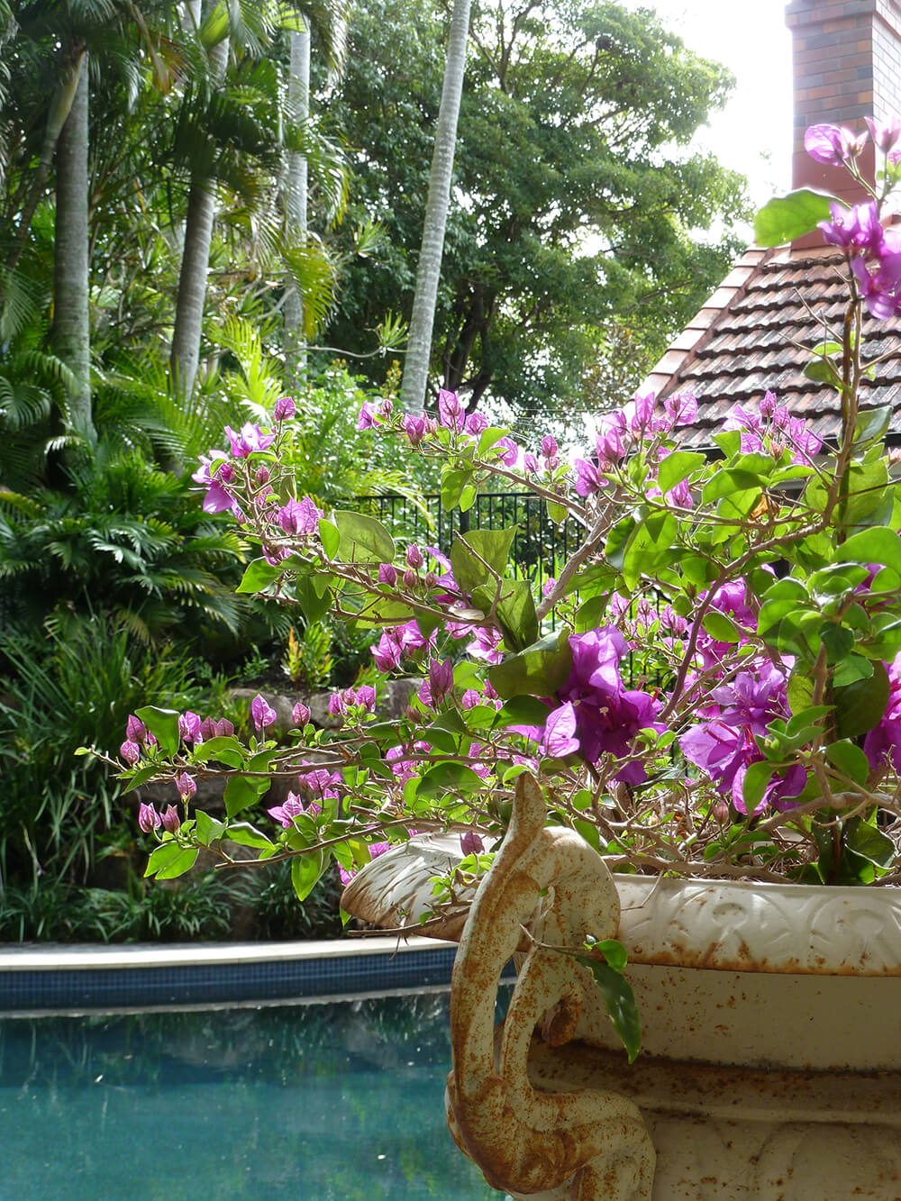 clayfield formal garden pool landscaping with bambino bougainvillea potplant