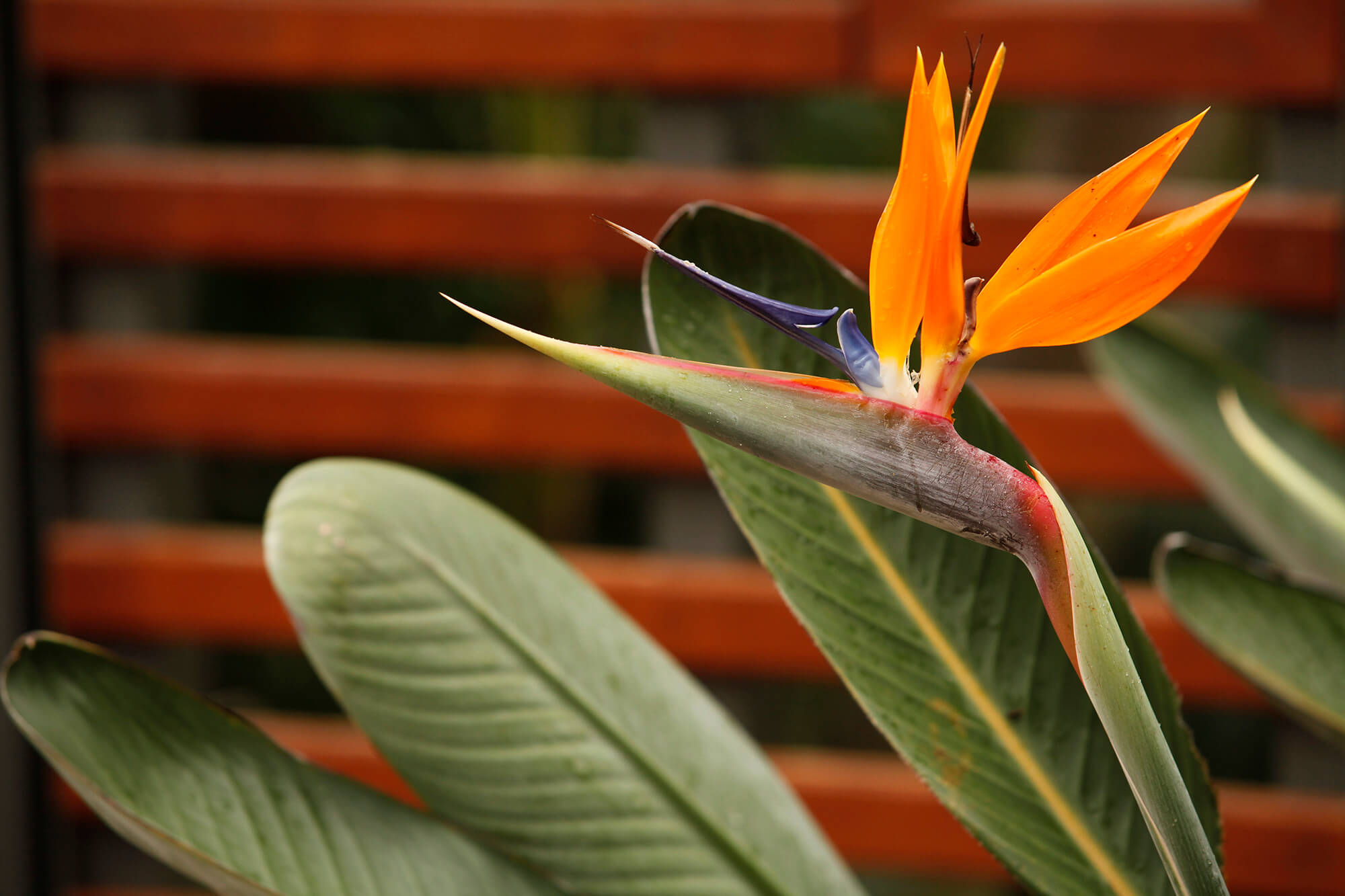 coorparoo tropical bird of paradise