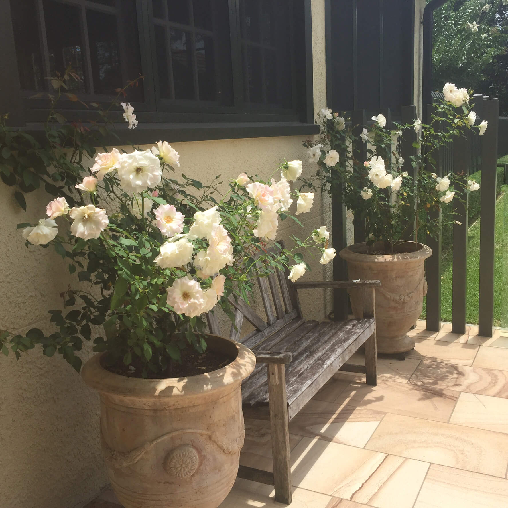 clayfield traditional flowering white rose seduction feature potplants