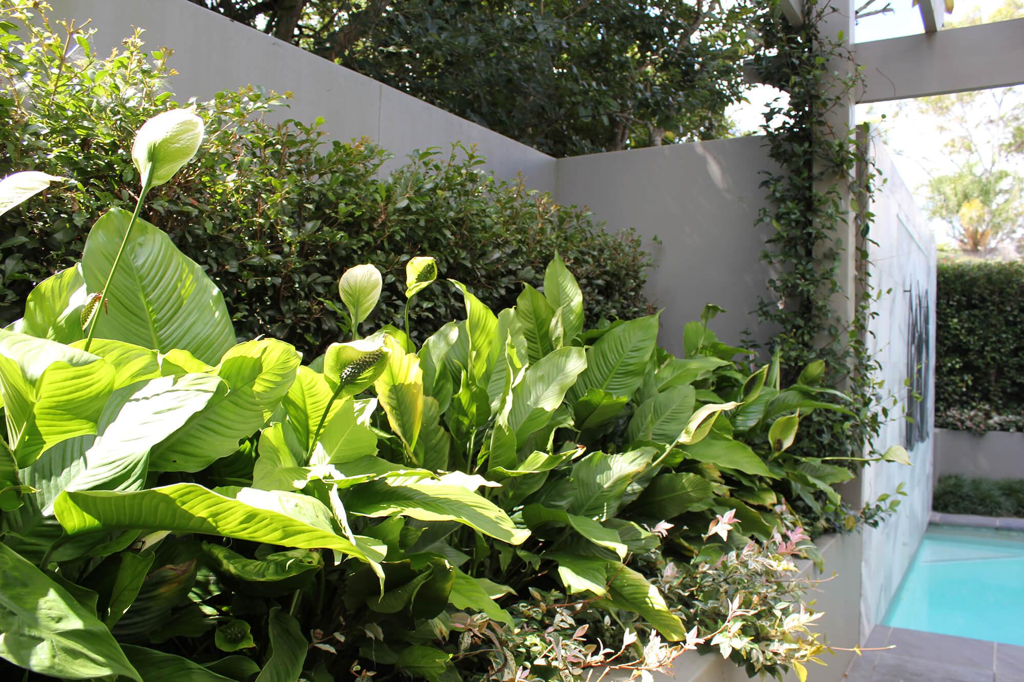 taringa pool garden hedging