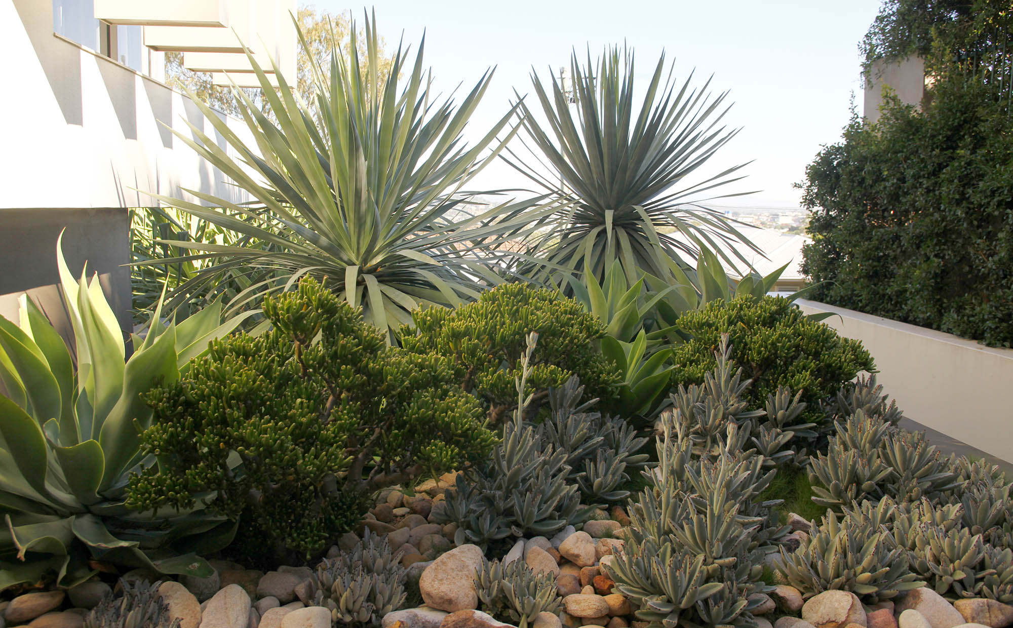 succulent garden with agave, panda plant, dragontree and decorative rocks