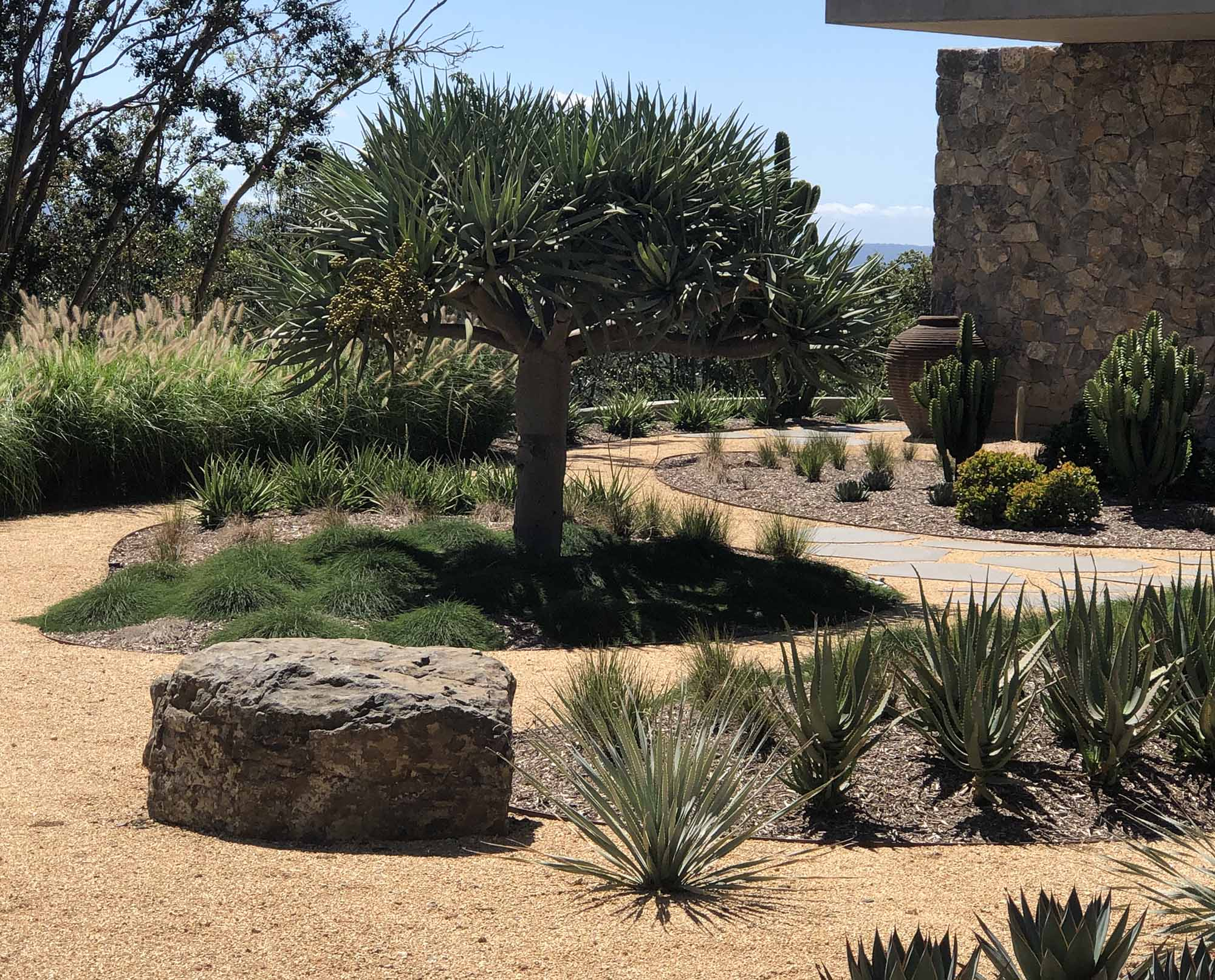 Arid landscape design with oversized feature rock and dracaena draco dragon tree feature tree
